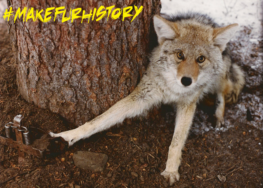 Archived photo of coyote in a leg-hold trap.
