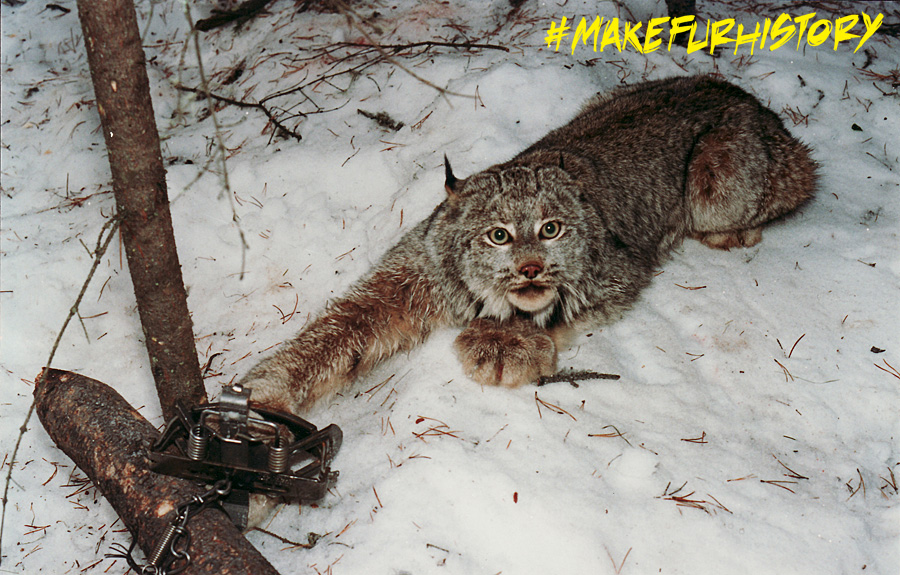 Archived image of a Canada lynx in a leg-hold trap.