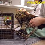 A cat injured by a Conibear trap near Kelowna. Photo provided by BC SPCA (2012).