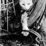 Archived photo of a cat in leg-hold trap (unknown date).