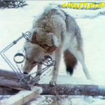 Coyote in a Conibear trap (1970s).