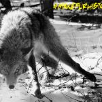 Archived photo of a coyote in a leg-hold trap.