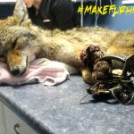 Coyote found roaming with a leg-hold trap still attached. Photo provided by Critter Care Wildlife (2013).