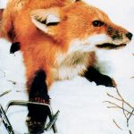 Archived photo of a fox in a leg-hold trap.