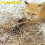 Fox in a leg-hold trap (1998).