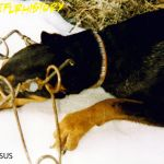 Doberman killed by a Conibear trap. Photo provided by HSUS.